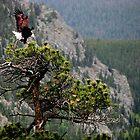 BALD EAGLE ~ Free Bird by NatureGreeting Cards ©ccwri