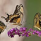 Swallowtail Symphony by Bonnie T.  Barry
