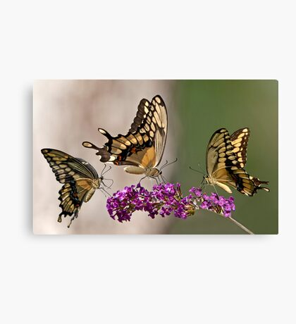 Swallowtail Symphony Canvas Print