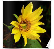 ~ Sunflower ~ Poster