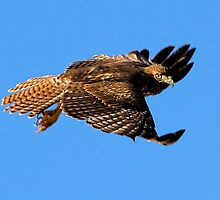 1002101 Red Tailed Hawk by Marvin Collins