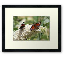 Butterfly Dancers ~ On White Buddliah ~ Framed Print