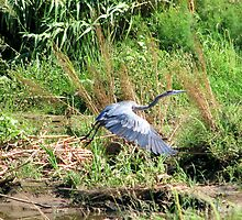 """Take off"" Great Blue Heron by Sherry Pundt"