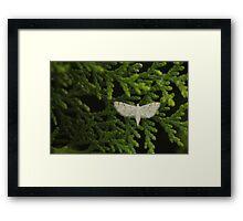 White morph on leaf Framed Print