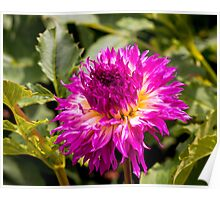 Dahlia In Bloom 10 Poster