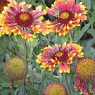 indian blanket wildflowers by Sheila McCrea