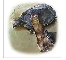 SENEGAL FLAPSHELL TURTLE Cyclanorbis senegalensis FINAL ART(NOT A PHOTOGRAPH OR PHOTOMANIPULATION) by DilettantO