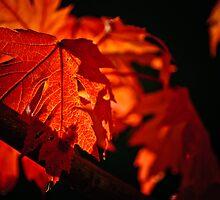 Maple by Phillip M. Burrow