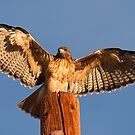 Red Tailed Hawk Calendar - New by Marvin Collins