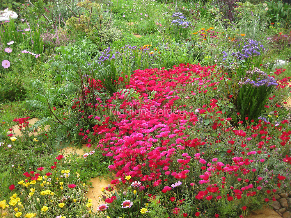 Red pigfaces flowering in the front garden. by Marilyn Baldey