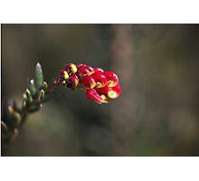 Grevillea Small Flower Photographic Print