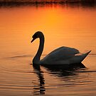 The Swan by Squawk