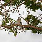 *Kookaburra's*   *Tree* by LESLEY B