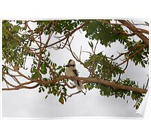 *Kookaburra's*   *Tree* Poster