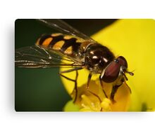 Hoverfly on yellow flower III Canvas Print