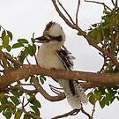 Kookaburra Tree 2 by LESLEY BUtler