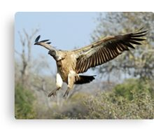 White-backed vulture landing Canvas Print