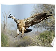 White-backed vulture landing Poster