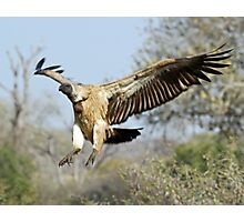 White-backed vulture landing Photographic Print