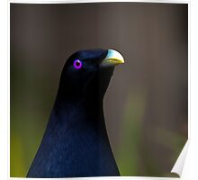 Australian Male Satin Bower Bird 2 Poster