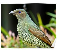 Australian Female Satin Bower Bird Poster