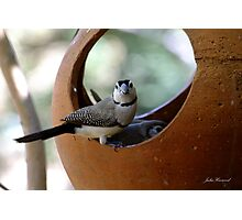 Double bar Finch Photographic Print