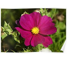 Purple Cosmos Flower Poster