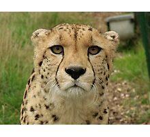 Memphisto - Cheeta at the Wildlife Heritage Foundation in Kent Photographic Print