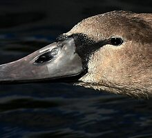 Big Cygnet by snapdecisions