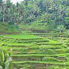 Ubud Ricefields by markdavies87