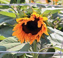 Sunflower Framed by Renee D. Miranda