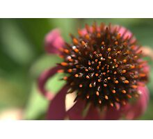Echinacea Flower Photographic Print