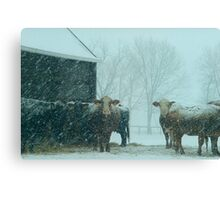 Cows In The Early Morning Snow Canvas Print