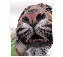 Close encounter of a Tiger kind! Poster