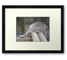 Snow leopard dreams.... Framed Print