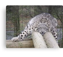 Snow leopard dreams.... Canvas Print