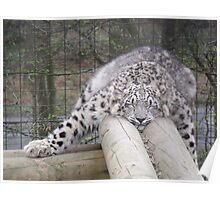 Snow leopard dreams.... Poster