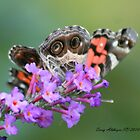 American Lady Butterfly Peek A Boo by Terry Aldhizer
