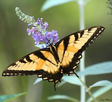 Perfect Swallowtail by Terry Aldhizer