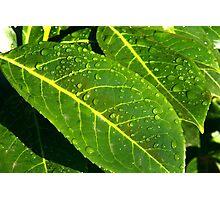 Raindrops on a Laurel Leaf Photographic Print