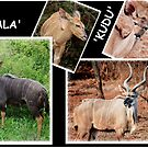 "A  COLLAGE OF THE ""NJALA"" and the ""KUDU""  by Magaret Meintjes"