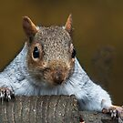 Grey Squirrel by Elaine123