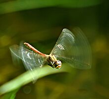 In Flight Darter by Russell Couch