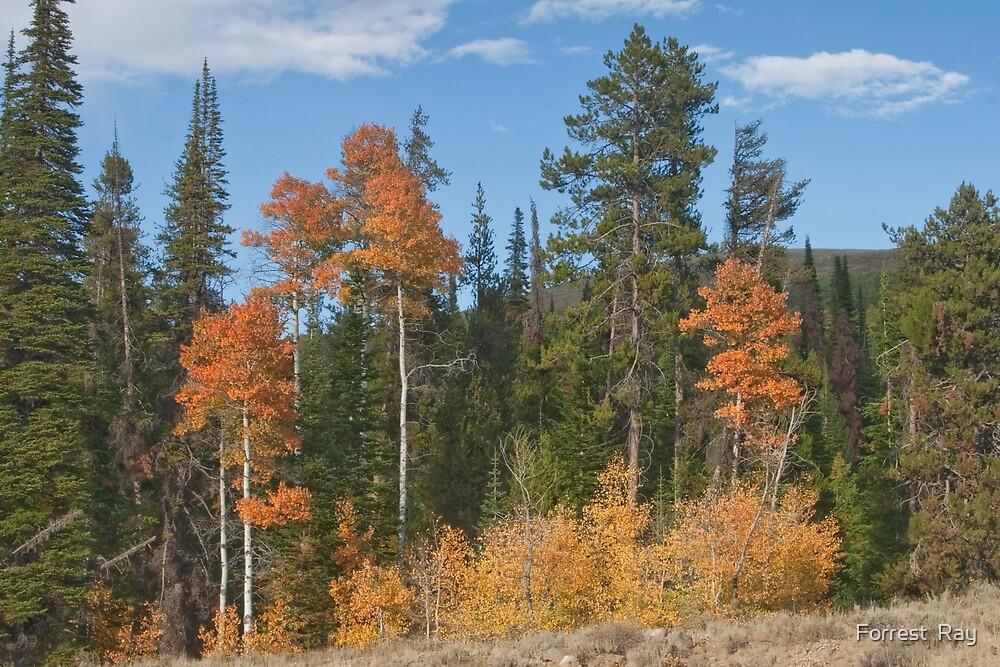 Apsen in Idaho 2 by Forrest  Ray