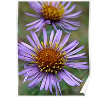 Fantastic Fall Flowers! New England Aster Poster