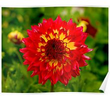 Dahlia In Bloom 12 Poster