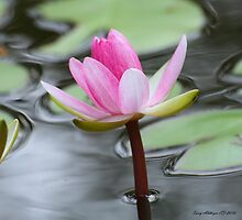 Perect Pink Pond Lily Ripple by Terry Aldhizer
