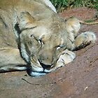 Lion Sleeping by lincolngraham