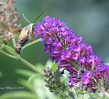 In Search Of The Hummingbird Moth by Terry Aldhizer