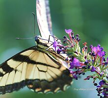Swallowtail Butterfly Coming Around by Terry Aldhizer